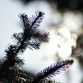 Christmas Tree, Sprig, The Sun, Glow, Coniferous, Tree