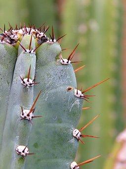 Hildmann's Cereus, Cactus, Plant, Desert