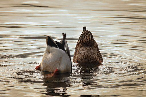 Ducks, Mallards, Water, Lake, Feathers, Floating