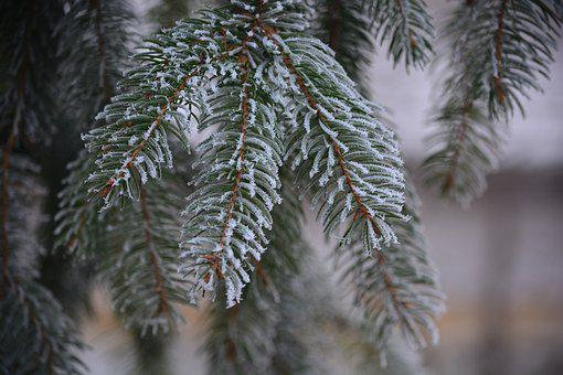 Pine, Frost, Cold, Rime, Nature, Winter, Wood