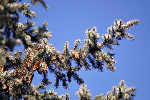 Fir, Cones, Branch, Needles, Pine Cone, Conifer, Tree
