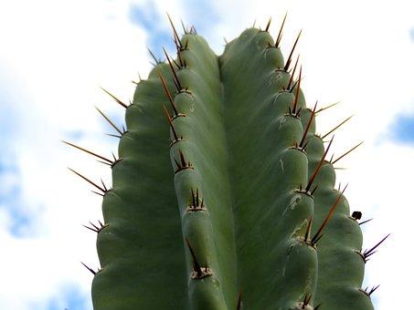 Hildmann's Cereus, Cactus, Sky, Plant, Desert, Clouds