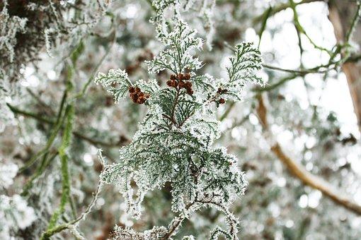Winter, Frost, Snow, Tree, Trees, Conifer, Macro