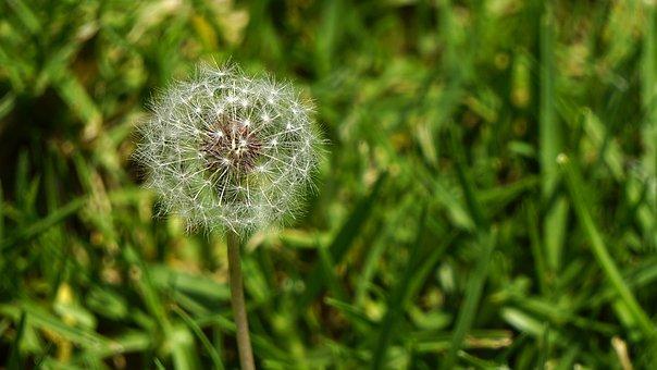 Dandelion, Grass, Nature, Summer, Spring, Meadow