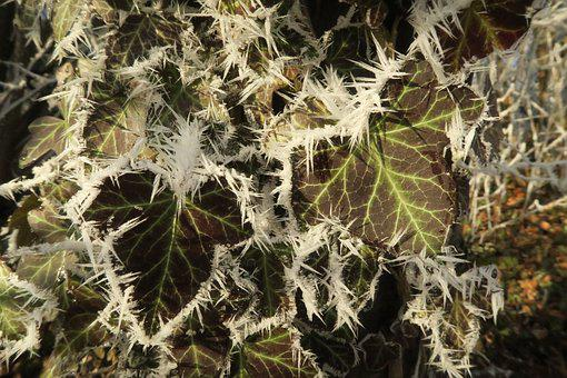 Plant, Ice, Winter, Frozen, Frost, Leaf, Cold