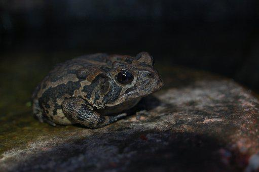 Toad, Amphibian, Rock, Nature, Animal, Stone, Wildlife
