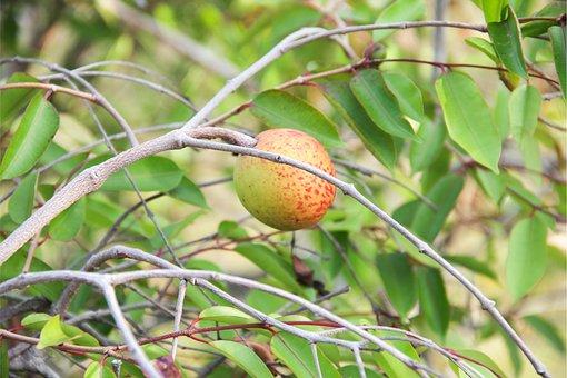Mangaba, Boipeba, Tropical Fruit