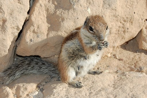 The Squirrel, Feurteventura, Rodent, Cutie