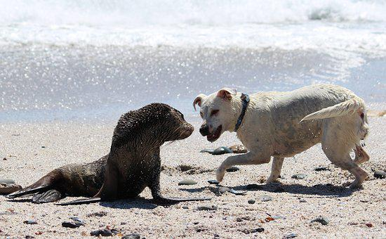 Encounter, Seal, Dog, Ocean, Beach, Sea, Animal World