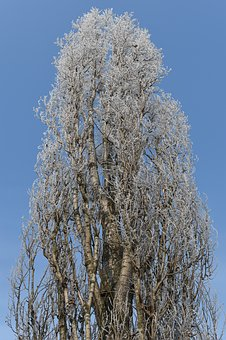 Poplar, Tree, Winter, Frost, Icing, Rime, Nature