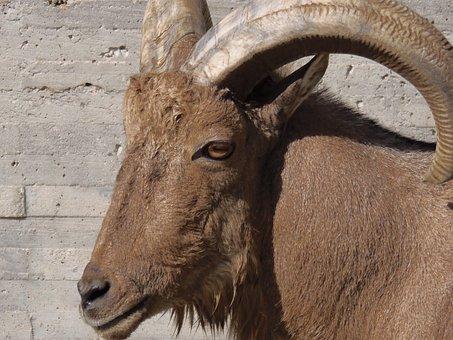 Goat, Mammals, Animals, Arruis