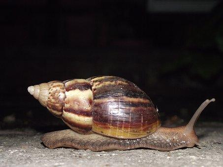 Snail, Hoi Thailand, Hoiklang Night