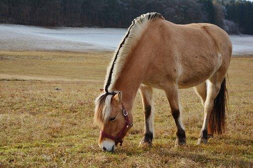 Horse, Norwegian Fjord Horse, Pasture, Paddock