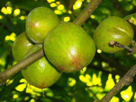 Fruit, Benahong, Green, Plants, Twig