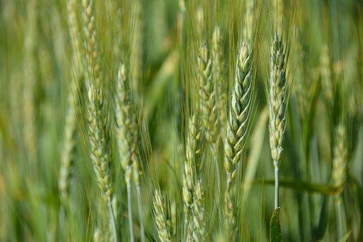 Wheat, Grain, Agriculture, Corn, Farming, Cereal