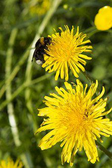 Dandelion, Flower, Plant, Yellow, Nature