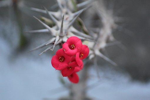 Euphorbia Milii, Euphorbia Splendens, Crown Of Thorns