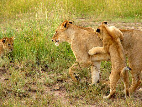 Lion, Cub, Cub Playing, Mother Lion, Lioness, Wildlife