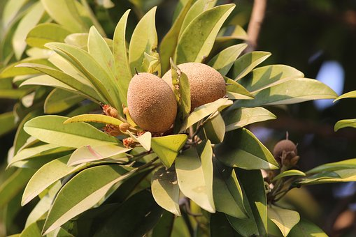 Sapodilla, Chiku, Fruit, Plant, Long Lived, Evergreen