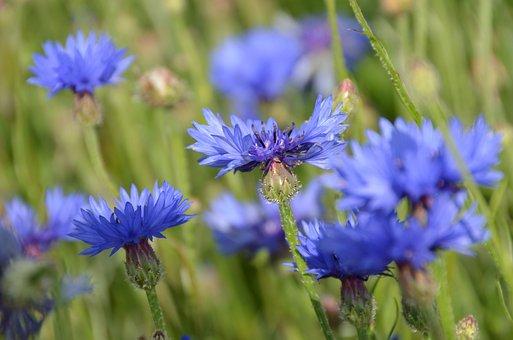 Flowers, Pfloanzen, Blue, Cornfield, Summer