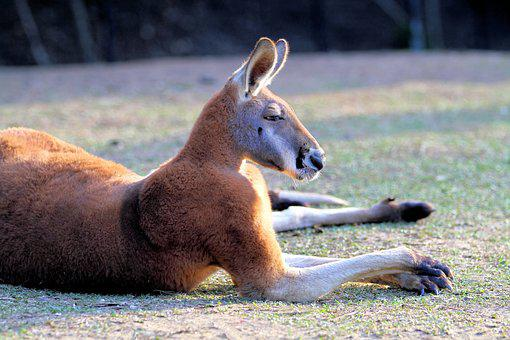 Kangaroo, Red, Australia, Wildlife, Animal, Marsupial