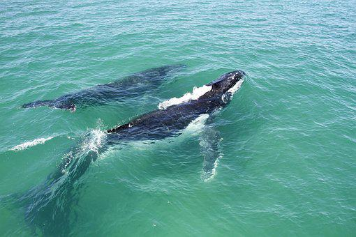 Whales, Nature, Pod, Mother And Calf, Sea, Animal