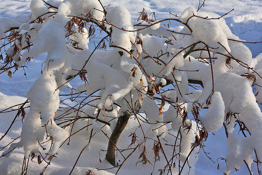 Winter, Snow, Shrubs