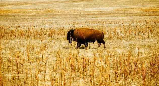 Bison, Buffalo, Animal, Wildlife, Alone, Solitary