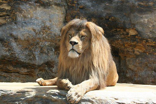 Lion, Animal, Range Of The Lion, King Of The Jungle