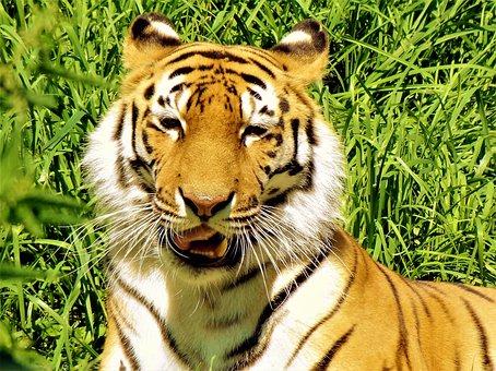 Lion, Wild Animal, Zoo, Animal, Predator, Wildcat