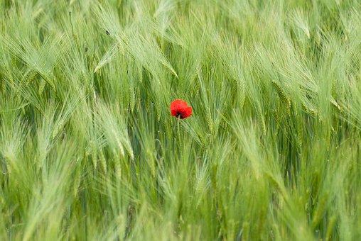 Poppy, Blossom, Bloom, Getrfeidefeld, Red, Nature
