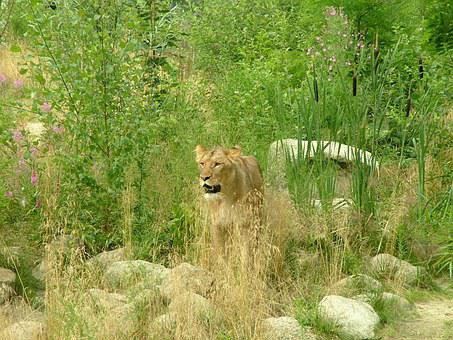 Lion, Leewin, Feline, Animal