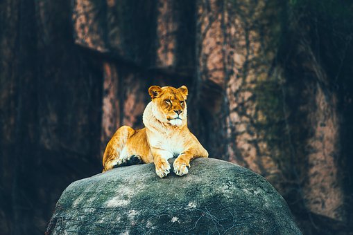 Lion, Female, Rock, Animal, Wildlife, Nature, Outdoors