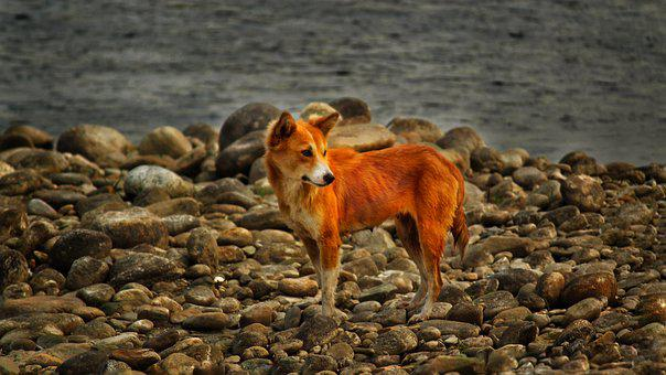 Dog, Wild, River, Mountain Dog, Water, Friend, Pet