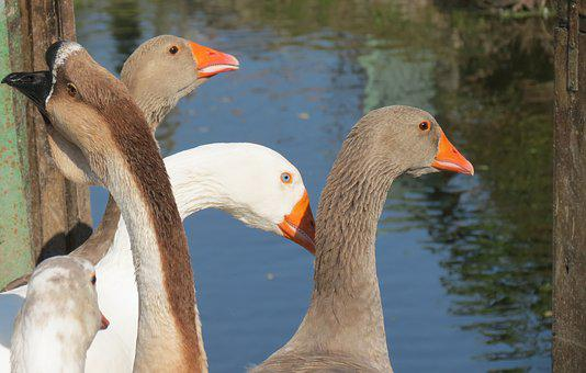 Geese, Farm, Poultry, Bill, Domestic Goose, Nature