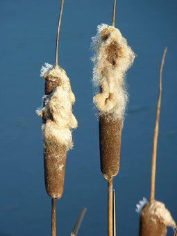 Winter, Bank, Reed Piston, Reed, Lake, Nature, Ice