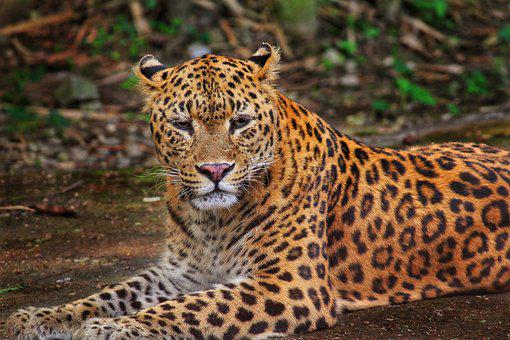Leopard, Jungle, Wildlife, Safari, Nature, Animal, Wild