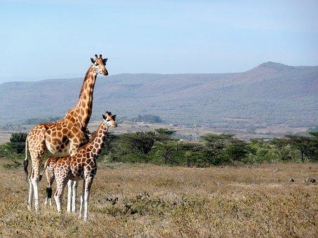 Giraffe, Kenya, Kigio, Africa, Animal, Wildlife, Mammal