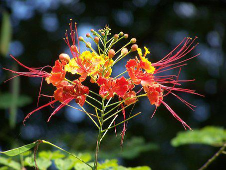 Bangladeshi, Krishnachura, Flower, Plant, Blossom