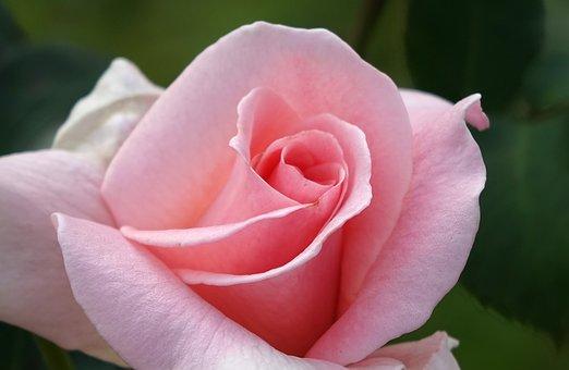 Rosa Multiflora, Rose, Pink