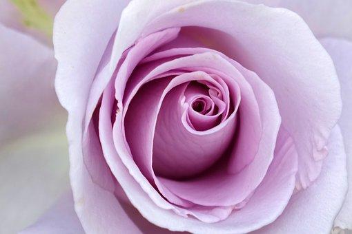 Rosa Multiflora, Rose, Purple