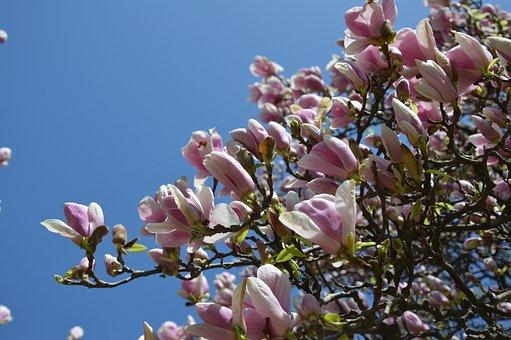 Spring, Tulip Tree, Flower, Bloom, Magnolia