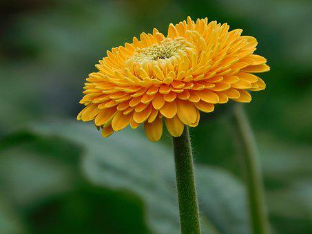 Flower, Gerbera, Yellow, Orange, Macro