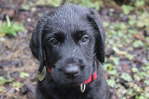Puppy, Wet Puppy, Wet, Dog, Breed, Companion, Nature