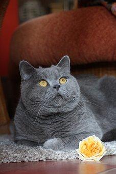 Cat, Domestic Cat, Pet, Mieze, British Shorthair