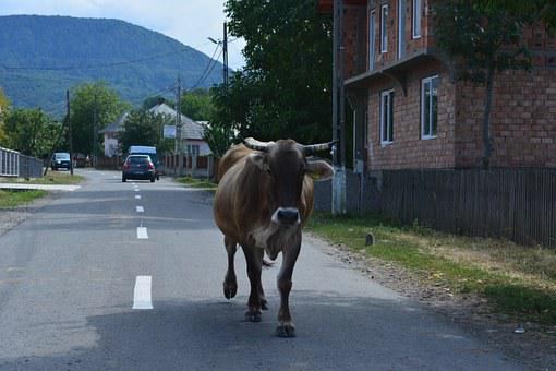 Cow, Cow Walking, Cow Animal