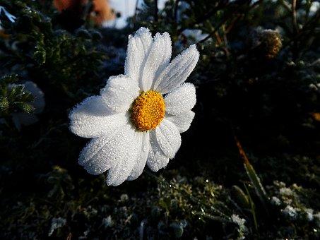 Marguerite, Frost, Ice, Flower, Gel, Winter, Cold