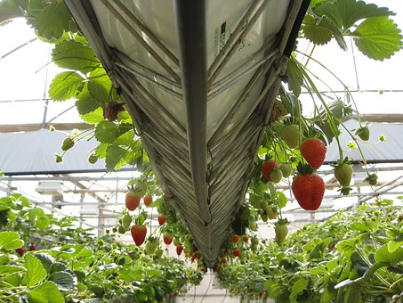Greenhouse, Strawberries, Fruit