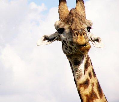 Giraffe, Africa, Safari, Nature, Wildlife, Animal, Wild