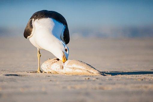 Kelp Gull Feeding On A Fish, Portrait, Seabird, Seagull